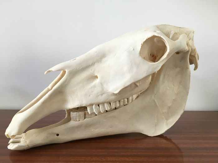history of the horse equus caballus essay We now know of many other branches of horse evolution our familiar equus is equus caballus, the true horse history magazine hen's teeth has essays on.