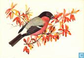 Vogels: Goudvink