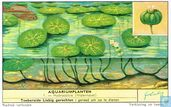 Hydrocotyle (Waternavel)