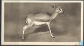 The Persian Gazelle