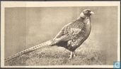 The Japanese Pheasant