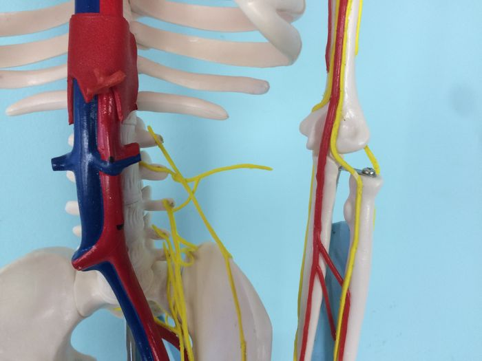 Anatomical model Human skeleton with nerves, blood vessels and heart ...