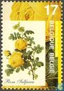 Sulfur yellow Rose