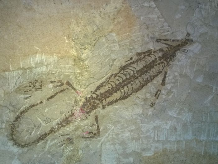 Swimming Reptile - Mesosaurus brasiliensis - 230 mm - Catawiki