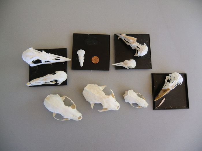 Collection of nine Mammal and Bird skulls