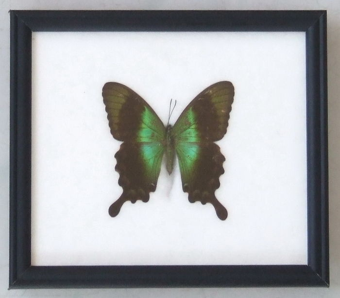 A collection of eight prepared framed butterflies - 20 cm x 17 cm ...