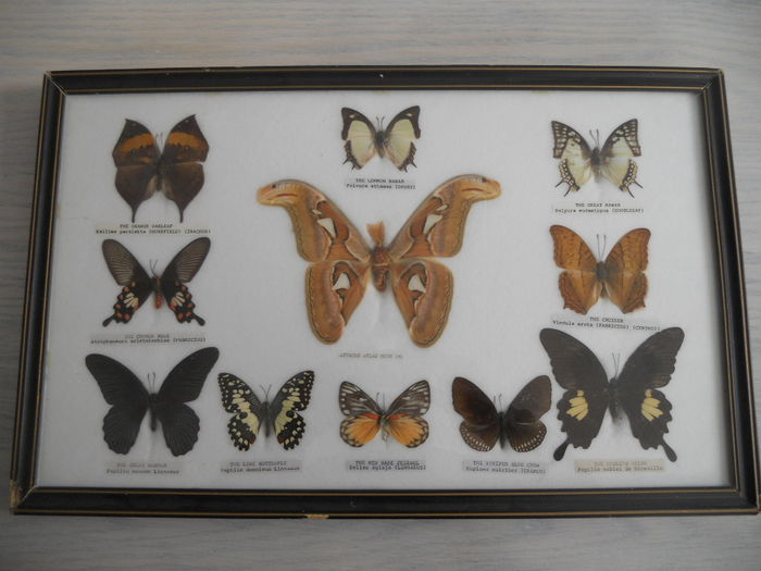 collection of 11 butterfly species catawiki
