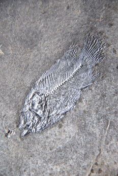 Fossil fish - Asineops squamifrons  - Plate 118mm x 130mm