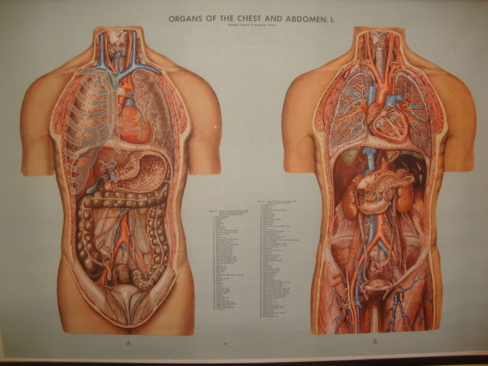 Anatomicalmedical Human Body Scrool Mapposter Organs Of The