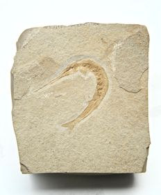 Fossil fish - Belonostomus kochi - 110 x 122 mm