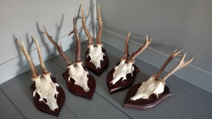 Lot of 5 roe deer antlers - very decorative wall decoration - Catawiki