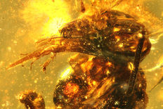 "Two spineless bees (one with visible proboscis) ""Problebeia Dominicana"" in Dominican Amber"