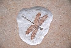 Fossil dragonfly - Parahemiphlebia cretacica - 40mm