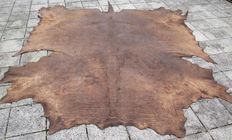 Taxidermy - huge Cape Buffalo skin - Syncerus caffer caffer - 280 x 260 cm