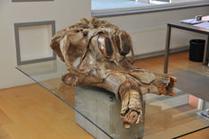 A Massive Skull of a Male Woolly Mammoth - Mammuthus Primigenius - Weight skull: approximately 300 kg / 660 lbs - Length: 158 cm / 62.1 in - Width: 74 cm / 29.1 in - Height: 60 cm / 23.6 in