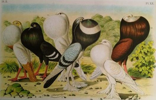 Five prints by Jean Bungartz- Duif- Pigeon-Taube- from - Catawiki