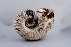 Ammonite with nacre shell - plus shells, snails and serpulidae in the living chamber - size: approx. 26 x 21 x 12 cm - weight: 6.3 kg