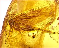 Baltic amber with  very large Caddis Fly (?) inclusion. 1.72 grams.