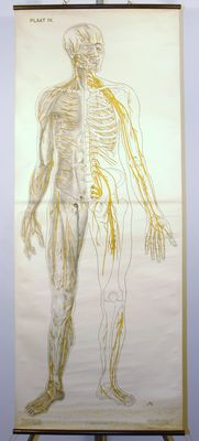 Prof. Dr. J. A. J. Barge - School Poster - lesson poster lymphatic system - human Lymph vascular system life size