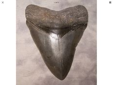 Fossil shark tooth, sharp serrated - C. megalodon - 11,8 cm