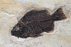 Beautiful fossil fish - PRISCACARA LIOPS - 14 cm - 23 x 25 cm