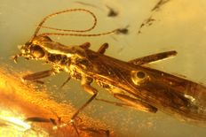 "Stone fly (Plecoptera) family ""Nemoura"" in Baltic Amber 0.6mm"