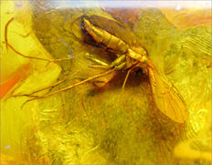 Baltic amber with good inclusion of a fly. 5.89 grams.