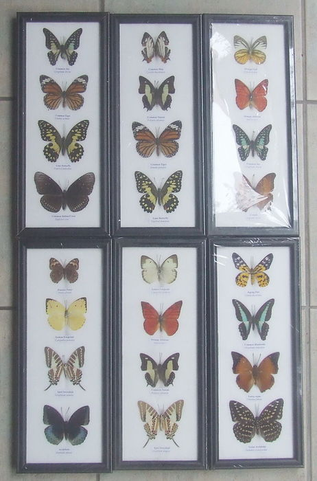 Fine collection of 24 Butterflies - 32,5 x 13,5cm  (6)