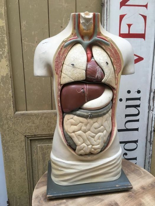 Large University anatomical model of a torso. Full size!