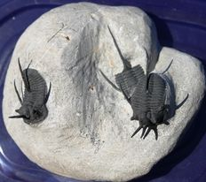 "Multiple 3D fossil trilobite - CYPHASPIS WALTERI ""devil horn"" - 2.5 cm without the pointed extensions."