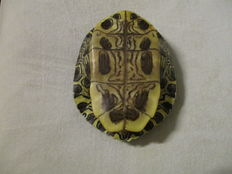 Painted Turtle shell - Chrysemys Picta - 15.5 x 13.5 cm