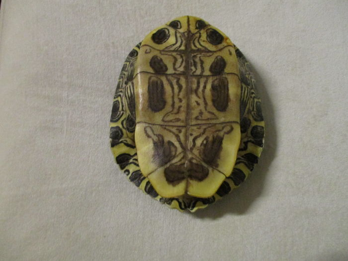 Painted Turtle shell - Chrysemys picta - 16.5 x 14.5cm