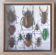 A diverse, cased collection of Exotic Insects - 15 x 15cm