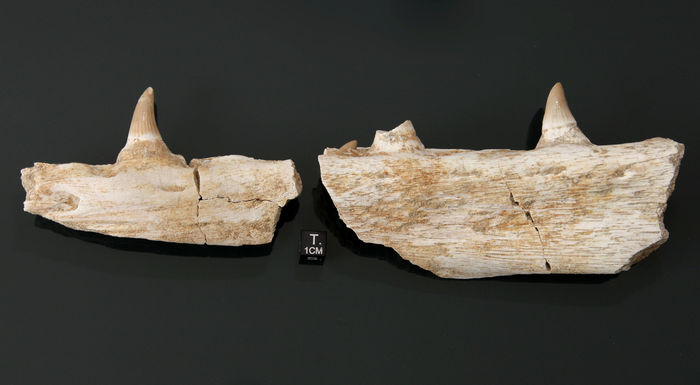 Mosasaur jaw - Leiodon anceps - 240 x 50 x 30 mm