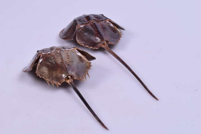 Horseshoe Crabs - Limulidae sp - 25 and 30cm  (2)