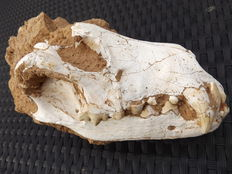 Fossil skull of a hyena - Ictitherium sp. - 190 mm