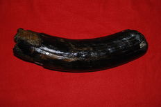 Woolly Mammoth (Mammuthus primigenius) - Partial Tusk - length 42.5 cm
