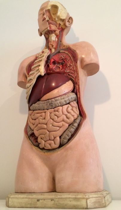 Large University Anatomical Model Of A Torso And Head In True Size