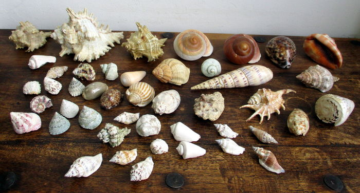 Lot of Tropical & Subtropical Shells - 1 5 kg (45) - Catawiki