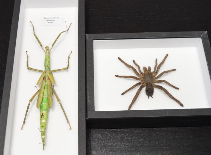 Frame with stick insect - 40 x 15 x 5cm and Hysterocrates hercules ...