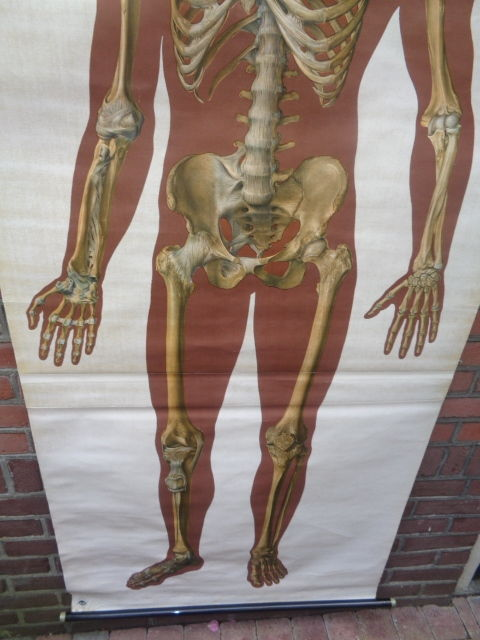 An old life-size anatomy poster. School poster of the human skeleton ...