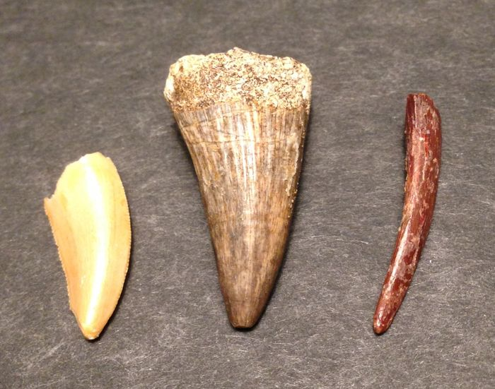 Dinosaur tooth collection - raptor / reptile / pterosaurs - 1.7 / 2.5 / 2.1 cm