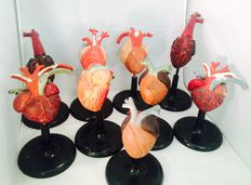 Collection of anatomical heart models.
