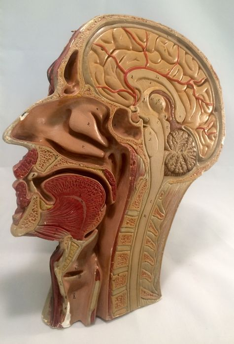Anatomical Model Of The Human Head Neck Area Sagittal Sectional