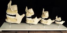 Anatomical models of the development of the human jaw and teeth.