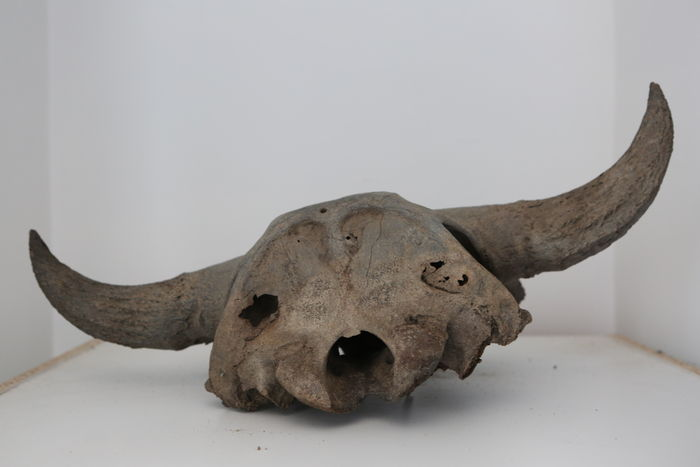 Bison antiquus skull - photo#18