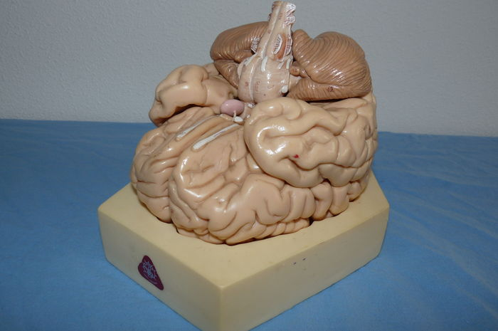 Old Somso Anatomy Model Of The Human Brain In Real Size Catawiki