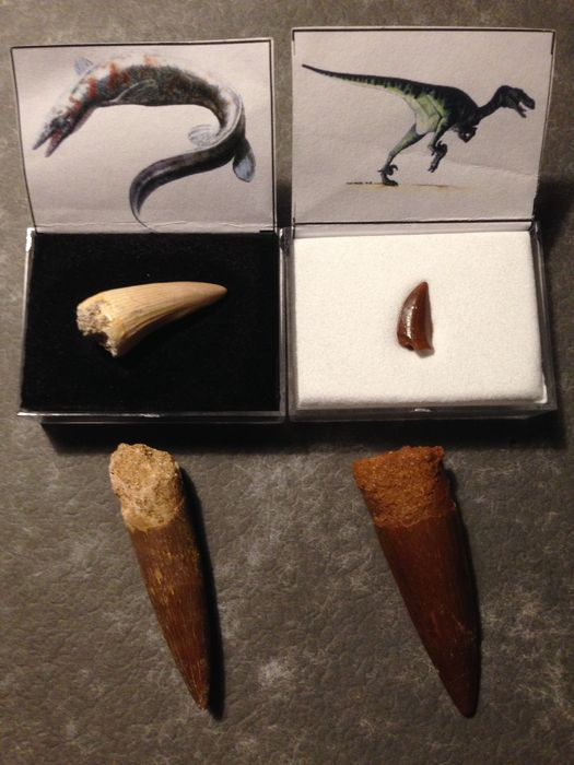 Dinosaur tooth collection - Raptor / Spinosaurus / Allosaurus / platecarpus - 1.7 / 4.5 / 4.5 / 2.5 cm
