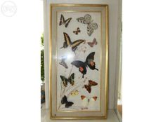 Fine selection of Exotic Butterflies - 60 x 30cm