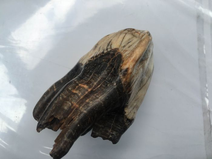 Polish prehistoric bison (tur) tooth - 100 x 50 x 50 mm - weight ~200 g